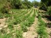 Taurianova, rinvenuta piantagione di canapa indiana - Video