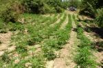 Scoperte 10 piantagioni di canapa indiana