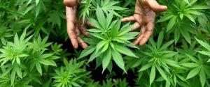 Cannabis, storica sentenza della Cassazione: coltivarla in casa in minime quantità non è reato