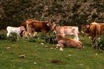 Ladri di bestiame in trasferta nel Vibonese, 4 denunce