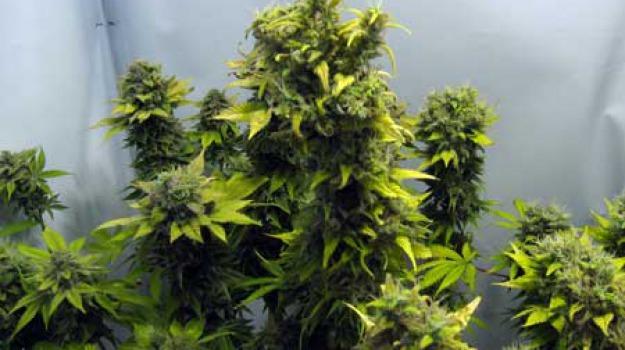 marijuana, Sicilia, Archivio, Cronaca