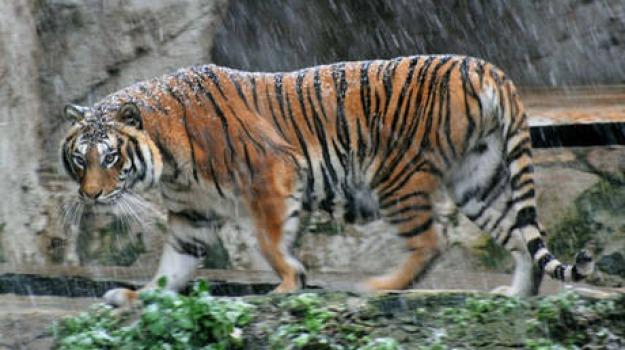 new york, sbranato, tigre, zoo del bronx, Sicilia, Archivio