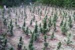 Vivaio di cannabis scoperto con i droni