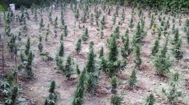 cannabis, Sicilia, Archivio, Cronaca