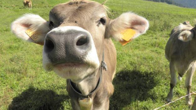 automobilista, grave, investe mucca, Sicilia, Cronaca