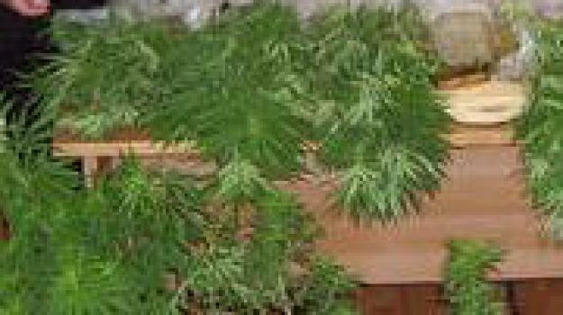 aspromonte, marijuana, san luca, Reggio, Calabria, Archivio