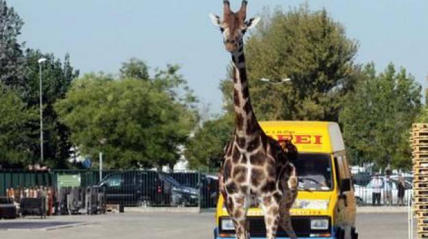 circo orfei, giraffa, Sicilia, Archivio, Cronaca