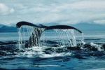Strage di balene in Nuova Zelanda, 51 esemplari spiaggiati