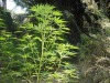 Maxi coltivazione di cannabis scoperta a San Lorenzo: sequestrate 4mila piante