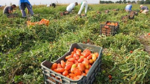 agricoltori, agrumi, Reggio, Archivio