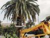 Allarme punteruolo rosso a Capo d'Orlando, infettate già alcune palme