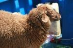 Diossina, abbattute trecento pecore