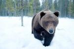 Botti di Capodanno svegliano orso