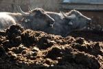 Caserta, sequestrate oltre 200 bufale