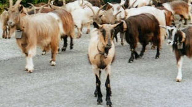 capre in autostrada, Messina, Archivio