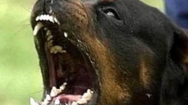 cani per combattimenti nella Piana di Gioia Tauro, Reggio, Calabria, Cronaca