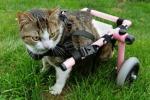 Brigitta, il gatto sulla sedia a rotelle