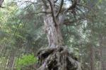 Scoperto pino laricio ultracentenario