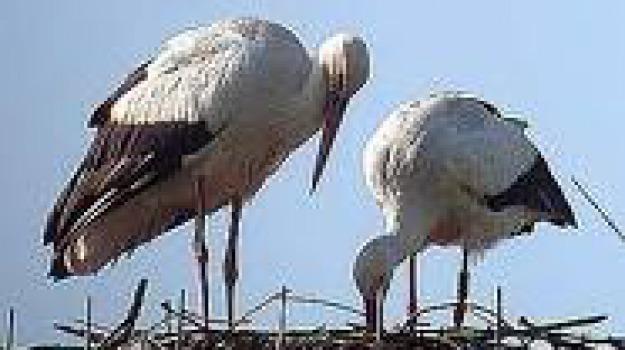 cicogna bianca, lipu, nido distrutto, sibari, velivolo leggero, Calabria, Archivio