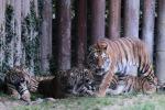 Muore sbranato dalle sue tigri