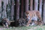 Anziano sbranato dalle sue tigri
