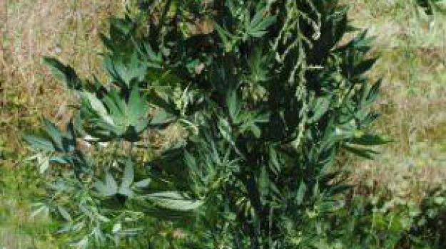 arresto, coltivazione, droga, rossano, Calabria, Archivio