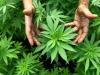 In Canada da oggi è legale la marijuana per uso ricreativo