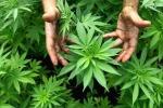 Sequestrate oltre mille piante marijuana