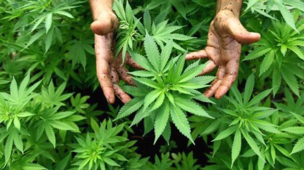25 anni, arresto, piante marijuana, Sicilia, Archivio
