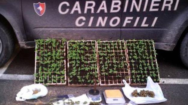 marijuana, vittoria, Sicilia, Archivio
