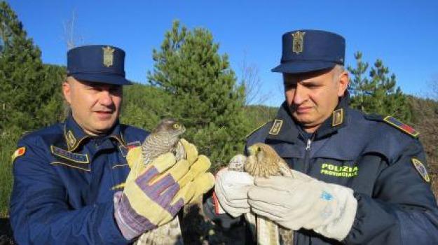 polizia provinciale cosenza, recupero rapaci, sila, Calabria, Archivio