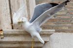 La colomba del Papa attaccata da un gabbiano