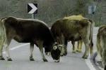 """Klaus Davi """"imbratta"""" vacche sacre cosche"""
