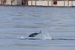I tonni scortano la Costa Concordia