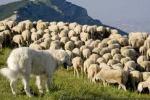 Cane sgozza capra e il pastore lo impicca