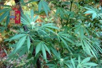 Scoperte piante di cannabis alte due metri