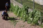 Scoperta maxi piantagione di canapa nel trapanese