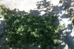 Coltivazione droga tre arresti