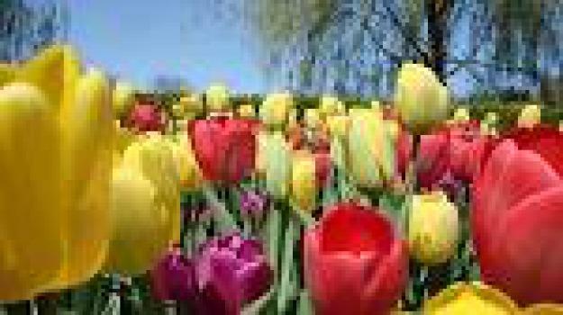 assunta mazzei, calabria, liberinellasm, sclerosi multipla, tulipani, Cosenza, Calabria, Archivio