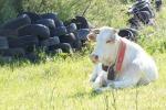 Vacche sacre nei terreni tra Monterosso e Maierato, la denuncia di 44 agricoltori
