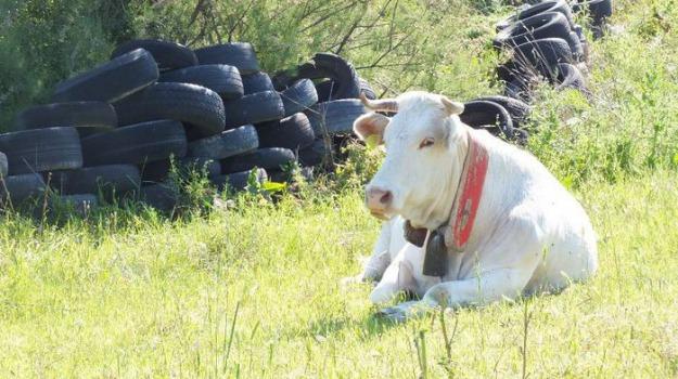 ndrangheta Cittanova, vacche sacre, Reggio, Calabria, Cronaca