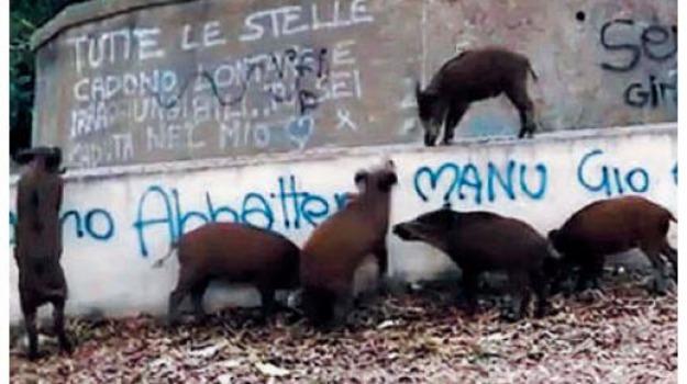 emergenza cinghiali, Messina, Archivio