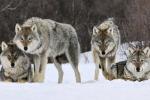 Venerdì nero per la natura, un lupo trovato morto in Calabria