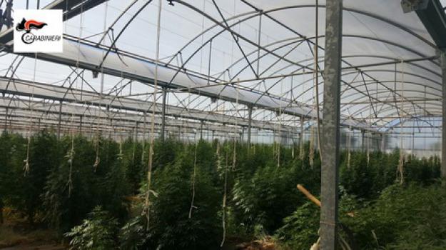 1300 piante cannabis, san marco argentano, Cosenza, Archivio