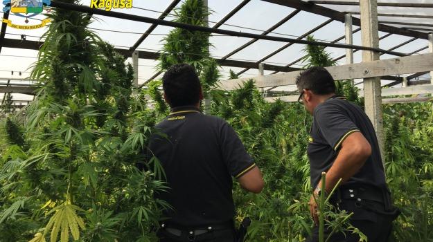Piantagione cannabis, quattro arresti Finanza, vittoria, Sicilia, Archivio