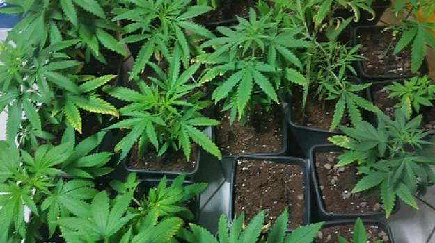coltivazione marijuana, crotone, in casa, tre denunce, Catanzaro, Archivio