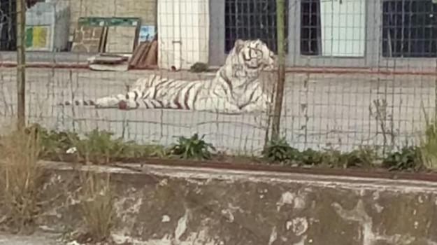 fuga, palermo, tigre, Sicilia, Archivio