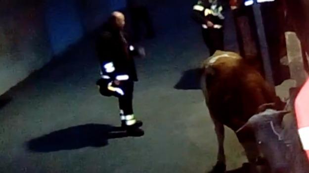 messina, mucca, via palermo, Messina, Sicilia, Archivio