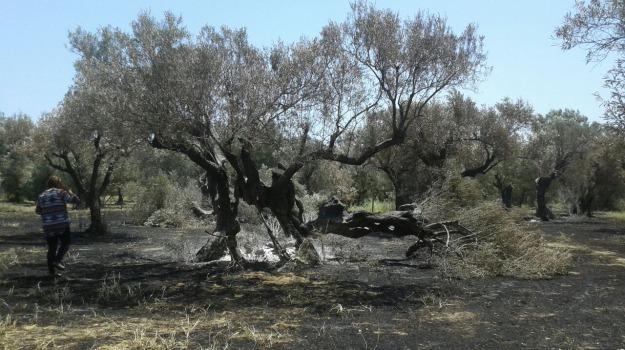 intimidazione imprenditore cotronei, ulivi secolari tagliati, ulivi tagliati imrenditore agricolo, Catanzaro, Calabria, Cronaca