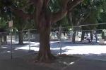 Messina, i ficus di piazza Cairoli non stanno bene: saranno potati